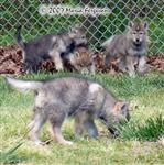 The Wolf Pup Pack photo Picture
