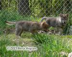 Wolf Pups on the move picture Picture