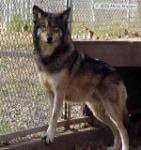 Washo, Timber Wolf Picture