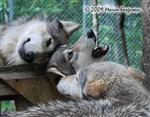 Wolf pictures, the pack Picture