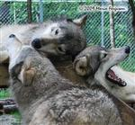 Wolf pictures, family Picture