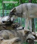 Wolf pictures, loving Wolves Picture