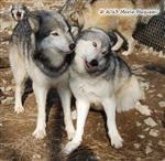 Wolves in breeding season Picture