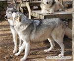 Wolfie love Picture