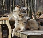Wolves strike a pose Picture
