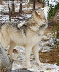 Wolf Pictures, Christmas morning Picture