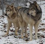 Wolf pictures, sisters Picture