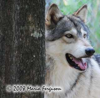 Wolf picture, behind a tree