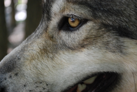 Close up and Personal Wolf