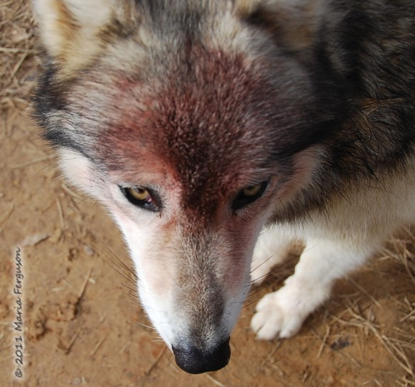 wolf pictures, bloody face