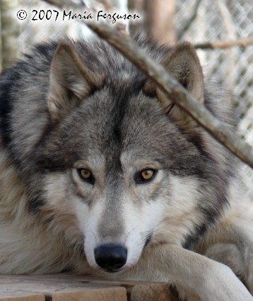 Wolf Eyes picture