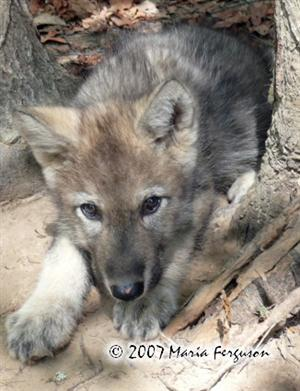 Nita 7 weeks old Wolf Pup at Wolf Howl Animal Preserve