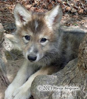 Woha at 7 weeks old at Wolf Howl Animal Preserve