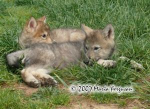 Wolf Pups enjoying a siesta