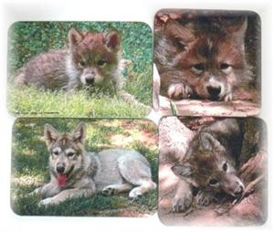 All four of our beautiful Wolf Pups