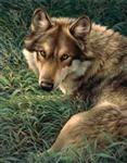 Gray Wolf in Grass Queen Signature Blanket