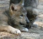 View details for this Wolf Pup Print 8x10