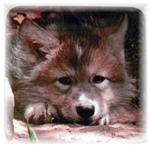 View details for this Wolf Pup Magnet - Woha