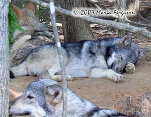 Wolf Pup Dreams