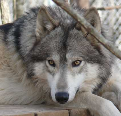 lone wolf picture