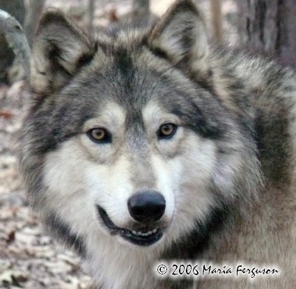 Wolves Pictures - Our Wolves pictures gallery is new and will be added ...