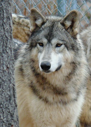 female wolf picture