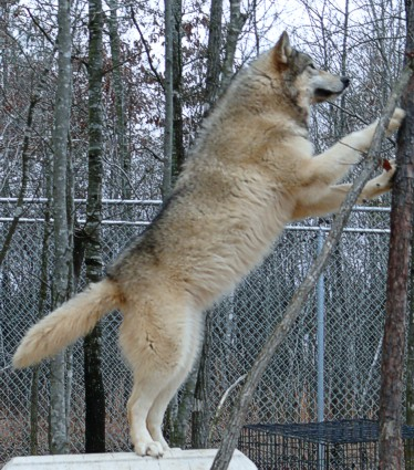 female Wolf at Wolf Howl Animal Preserve picture