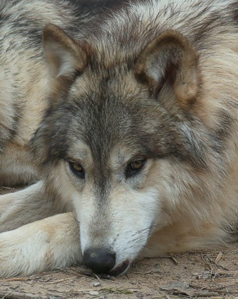 male wolf picture
