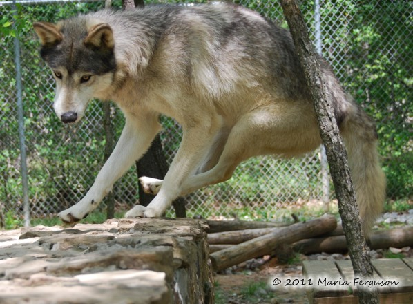 wolf picture