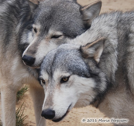 Wolves enjoying the fall weather at wolf howl animal preserve – by