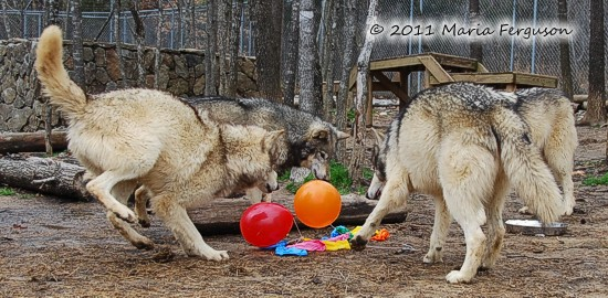 wolves birthday party