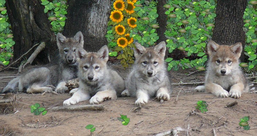 Wolves And Wolf Pup Update May 2007