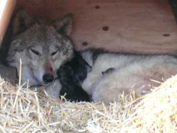 Wolf mom and pups picture