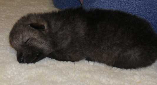 female wolf pup 13 days old