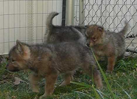 wolf pups picture