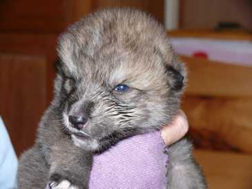 male wolf pup photo 13 days old