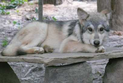 Wolf pup 3 months old picture