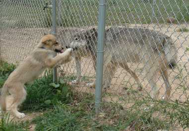 wolf pup visits adult Wolves picture