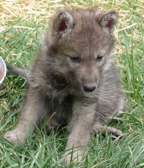 female wolf pup