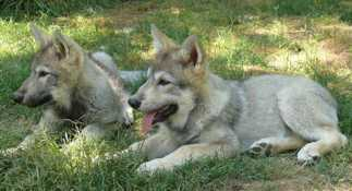 Wolf pups 74 days old picture