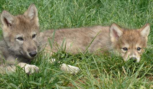 Wolf pup picture in grass