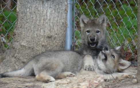 Wolf pups fighting picture