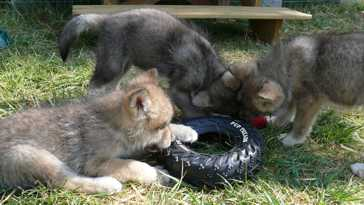 Wolf pups picture, 45 days old