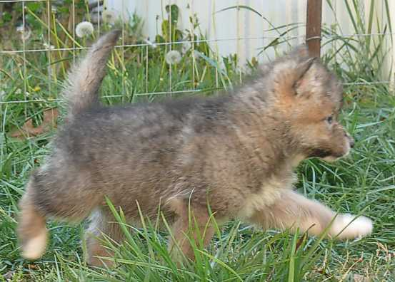 wolf pup running picture