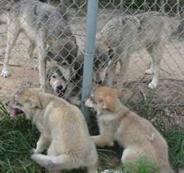Wolf pups visit adult Wolves photo