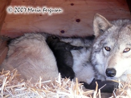pretty wolf mama and two pups photo