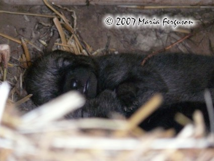 Jet black Wolf pup nose