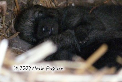 4 day old Wolf pup picture