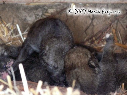 Two good sized Wolf Pups picture
