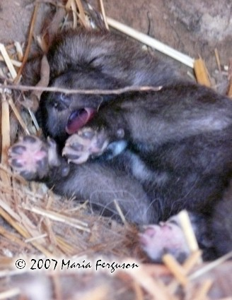 Wolf Pup dreaming picture